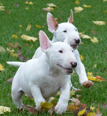 Bull Terrier puppies CanaDogs