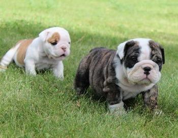 Bulldog puppy Canada