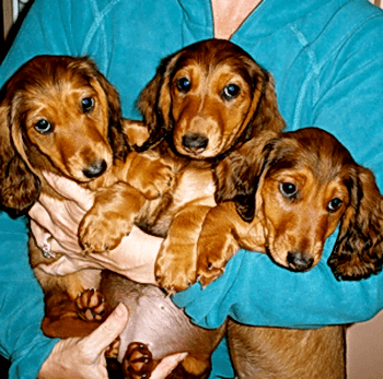 Standard Long-haired Dachshund puppy Canada