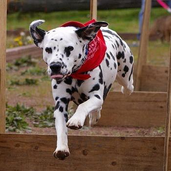 Dalmatian adult Canada