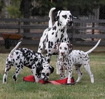 Dalmatian puppy Canada