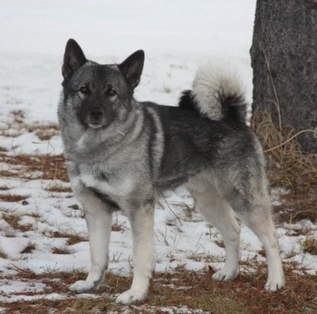 Norwegian Elkhound Adult Canada