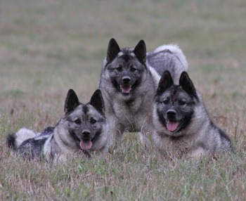 Norwegian Elkhound puppies Canada