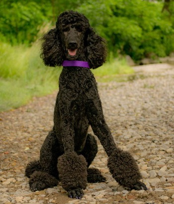 Standard Poodle puppy Canada
