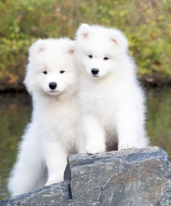 Samoyed puppy Canada