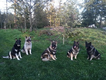 Shiloh Shepherd adults Canada