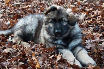 Shiloh Shepherd puppy Canada