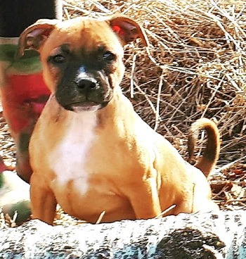 Staffordshire Bull Terrier puppies Canada
