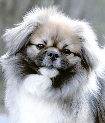 Tibetan Spaniel puppies Canada