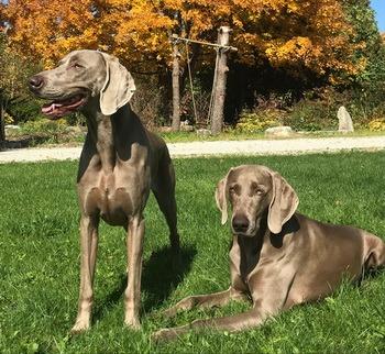 Weimaraner puppies Canada