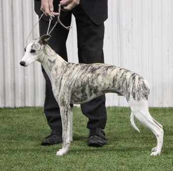 Whippet Adult Canada