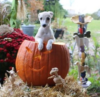 Whippet puppy Canada