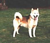 Greenland Dog Adult Canada