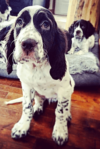 Épagneul Français/French Spaniel puppies Canada