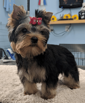 Yorkshire Terrier puppy Canada