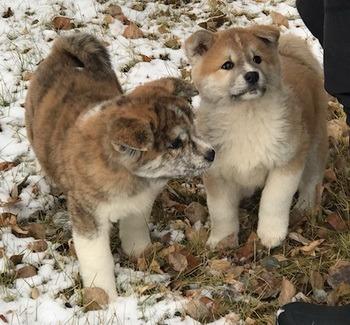 Akita puppies CanaDogs