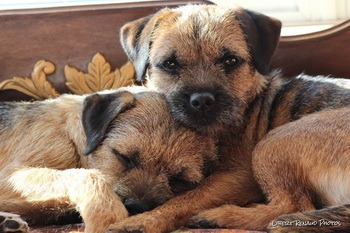 Border Terriers CanaDogs