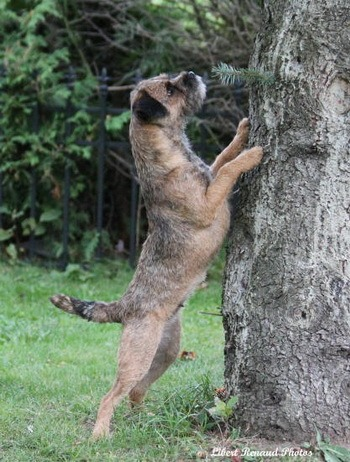 Border Terrier CanaDogs