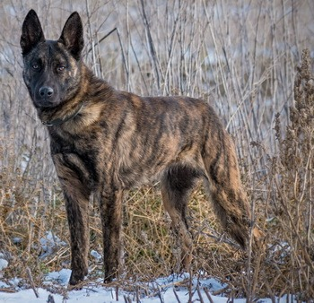 Dutch Shepherd Adult Canada