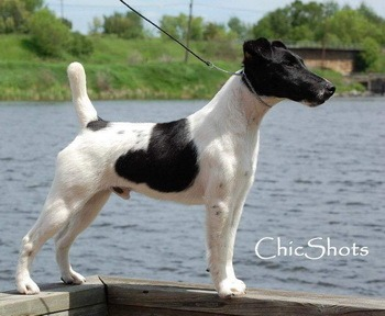 Smooth Fox Terrier Adult Canada