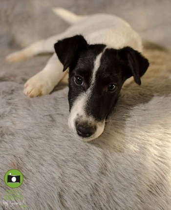 Smooth Fox Terrier puppies Canada