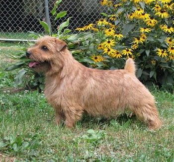 Norfolk Terrier Adult Canada