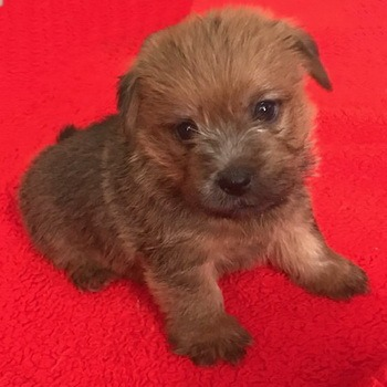 Norfolk Terrier puppy Canada