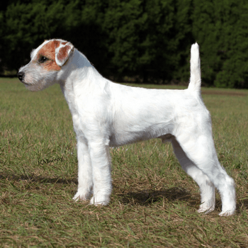 Parson Russell Terrier Adult Canada