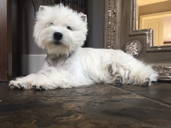 West Highland White Terrier Canada