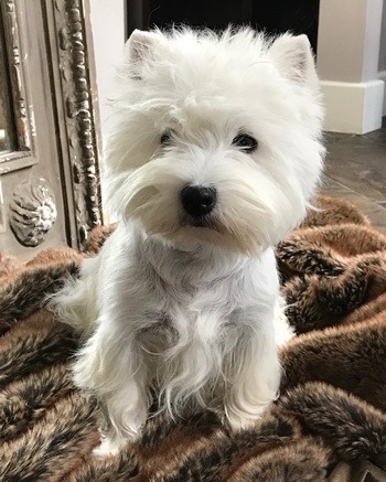 West Highland White Terrier Adult Canada