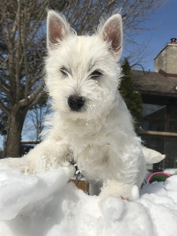 West Highland White Terrier puppy Canada